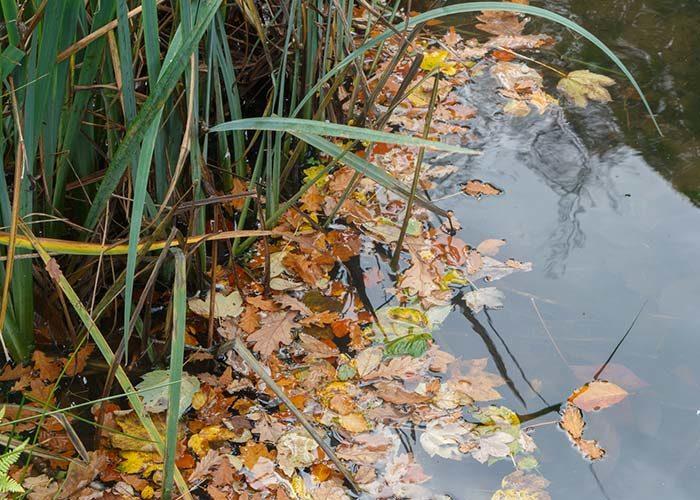 Gartenteich, Teichpflege im Herbst